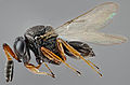Female Parasitoid wasp (Trissolcus mitsukurii) from Asia - USDA-ARS.jpg