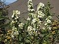 Fernbush, Chamaebatiaria millefolium (15885559264).jpg