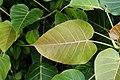 Ficus arnottiana 1907.jpg