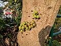 Ficus racemosa 07.jpg