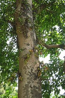 220px-Ficus_racemosa_3654.jpg