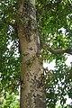 Ficus racemosa 3654.jpg