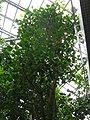 Ficus religiosa2.jpg