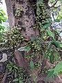 Ficus sp.jpg