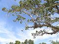Ficus sycomorus Ashkalon 4.jpg