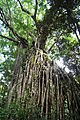 Ficus virens by Danny S.JPG