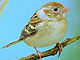 FieldSparrow23.jpg