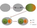Fig. 3.. Mecanismo de polarización celular de C .elegans..png