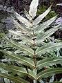 Filicophyta (Blechnum).jpg