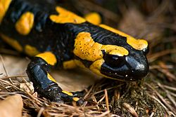 Fire salamander March 2008b.jpg