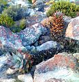 Firedamaged Aloe perfoliata - Hex River Mountains - SA1.jpg