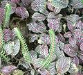 Fittonia albivenis.jpg