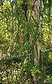 Flagellaria indica habit.jpg