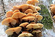 Flammulina velutipes on Fagus sylvatica (2).JPG