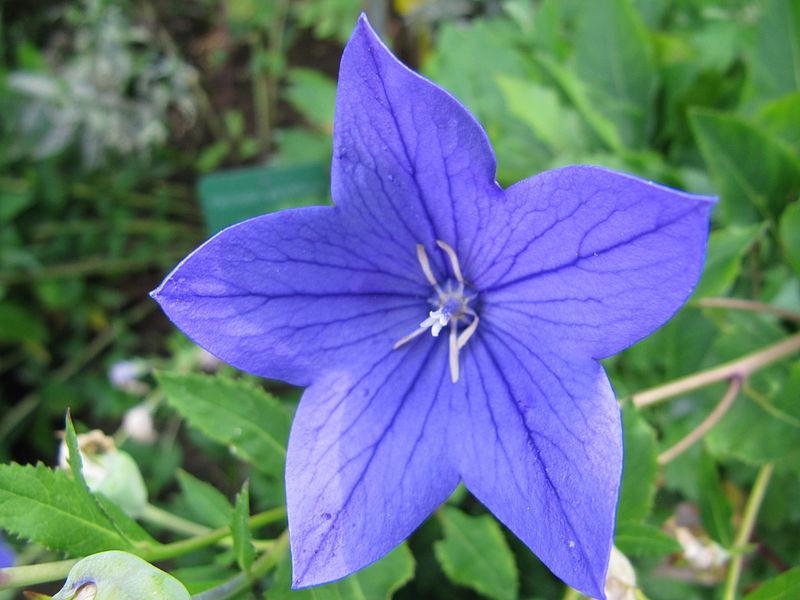 File fleur bleue au jardin des iris jpg wikimedia commons for Au jardin des fleurs