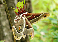 Flickr - Furryscaly - Columbia Silk Moth.jpg