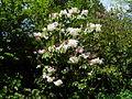 Flickr - brewbooks - Rhododendron - John M's Garden (4).jpg