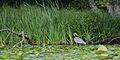 Flickr - ggallice - Great blue heron.jpg