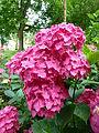FloraLisburnJune2015 (4).JPG