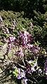 Flower bois-gentil 2.jpg
