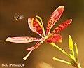 Flower from Kaiga Garden.jpg