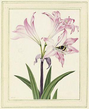 Peter Brown (naturalist) - Flower illustration, ca 1782