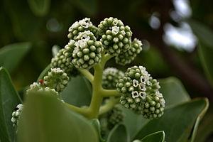 Heliotropium foertherianum - Flower