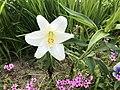 Flower of Lilium longiflorum 20180527.jpg