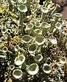 Flowering Lichens. Cladonia diversa Asperges - Flickr - gailhampshire.jpg