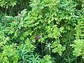 Flowers 27 June 2010 (12).JPG