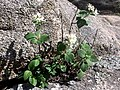 Flowers Out of Rocks (5917070767).jpg