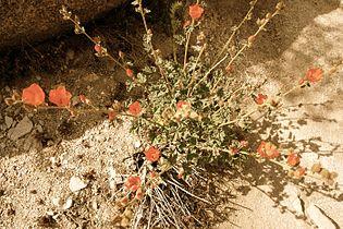 Flowers in Joshua Tree National Park (3433836874).jpg