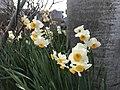 Flowers of Narcissus tazetta 20190209.jpg