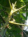 Flowers of papaya.jpg