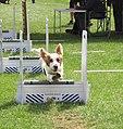 Flyball Dog over jumps.jpg