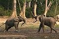 Forest elephant group 8 (6841413452).jpg