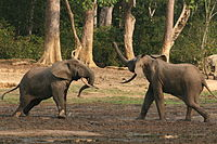 Forest elephant group 8 (6841413452).jpg