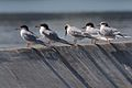 Forster's Terns in Alameda 2.jpg