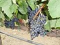 Franciscan Winery, St. Helena, California, USA (6157186737).jpg