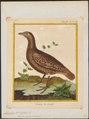 Francolinus bicalcaratus - 1700-1880 - Print - Iconographia Zoologica - Special Collections University of Amsterdam - UBA01 IZ17100025.tif