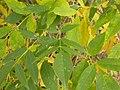Fraxinus pennsylvanica (5107487183).jpg