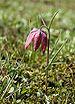 Fritillaria meleagris LJ barje2.jpg