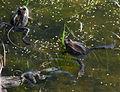 Frogs (3496267468).jpg