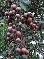 Froitos Pyrus cordata, pereira brava, Xardín botánico de Culleredo.jpg