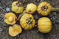 Fruits of Garcinia atroviridis (Asam gelugor).JPG