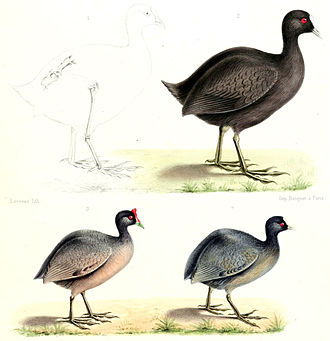 Mascarene coot - Mascarene coot compared to a red-knobbed coot and an Eurasian coot, 1872