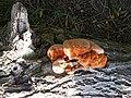 Fungi, Great Stocks - geograph.org.uk - 1462061.jpg