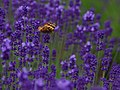 Furano Lavender FarmTomita.jpg