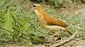 Furnarius longirostris - Caribbean Hornero; Puerto Colombia, Atlántico, Colombia.jpg