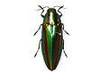 GLAM - Chrysochroa fulgidissima.jpg